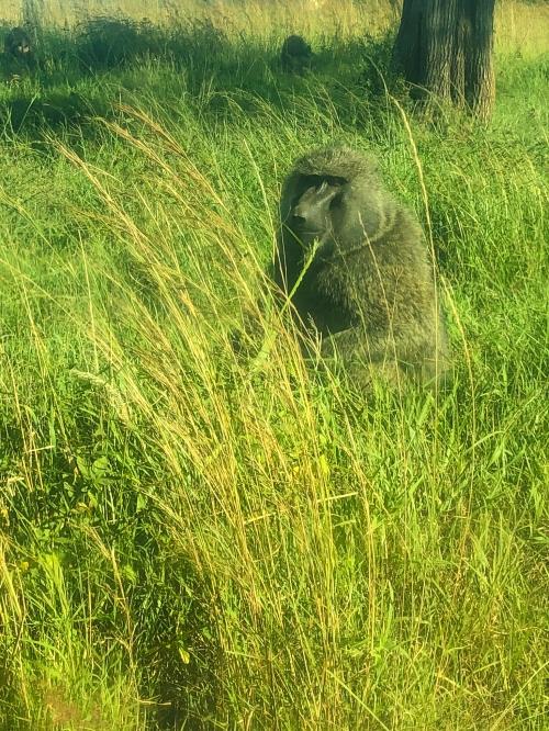 safari-baboon
