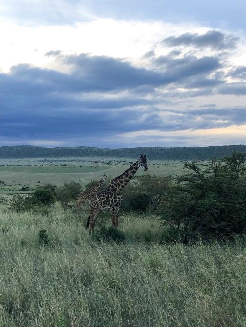 safari-giraffes