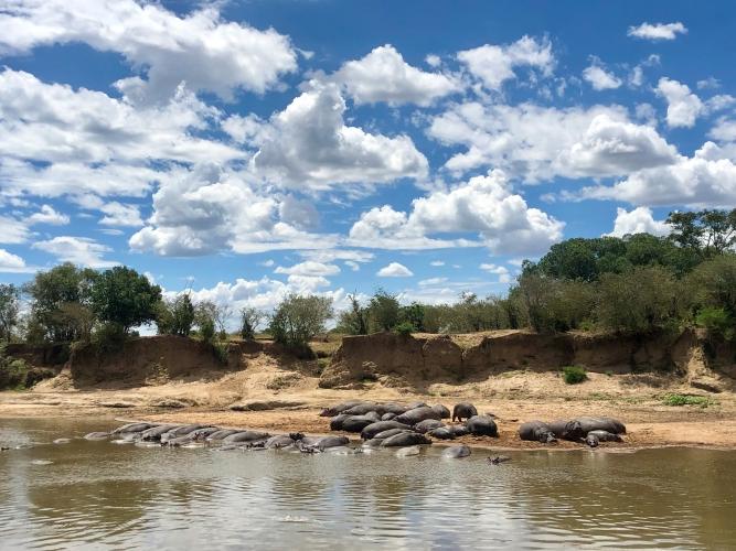 safari-hippos